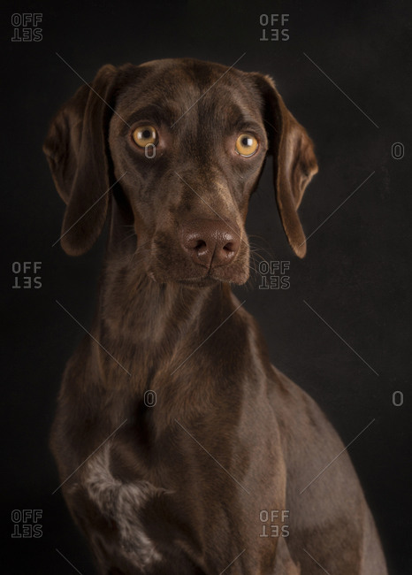 Portrait of brown weimaraner with yellow eyes sitting on black background and looking away