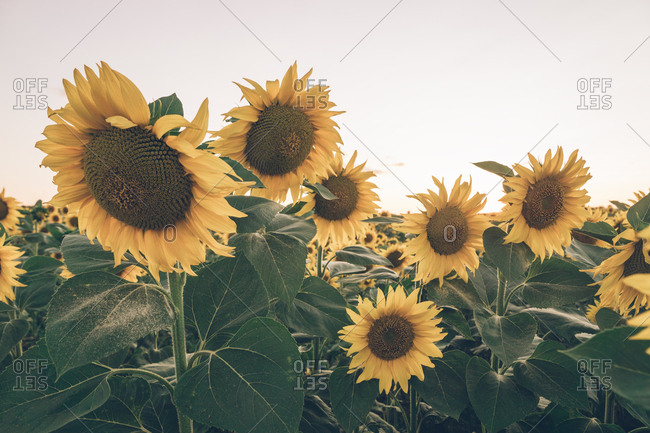 Scenic landscape of sunflower field on background of blue morning sky in soft sunbeams