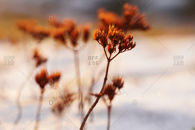 Soft focus of thin vivid plants on field covered with snow in cold day