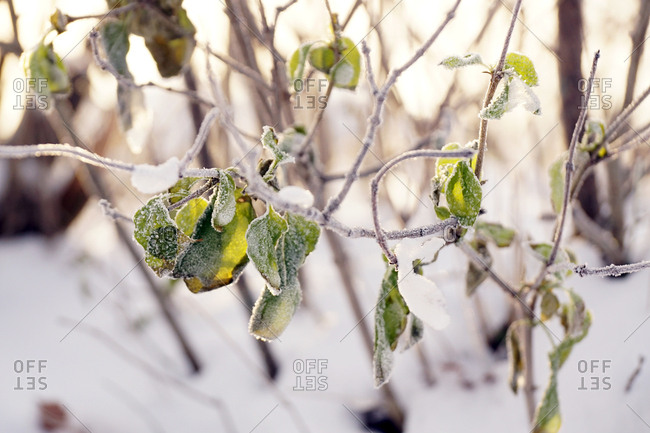 Frozen tree twig with green leaves in crystals of hoarfrost in winter snowy forest in sunshine
