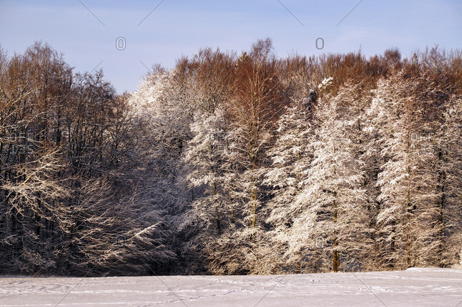 Distant woods with frosted evergreen and leafless trees beside snowfield on winter day