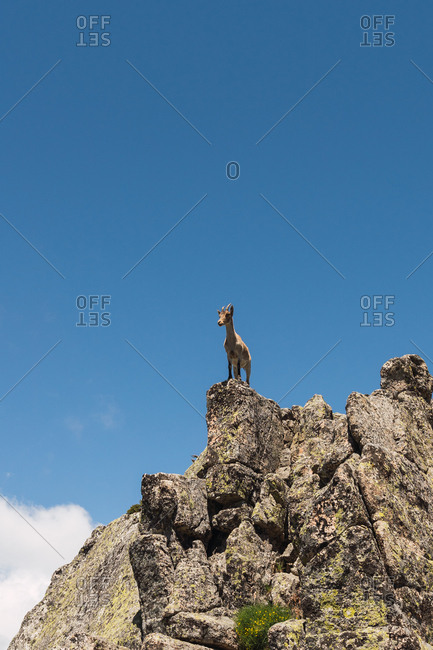 From below grey goats looking with curiosity standing on stony rocks on background of bright blue sky