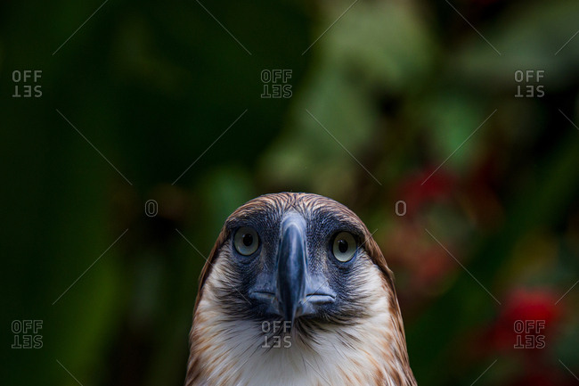 Close up of an eagle in Davao, Philippines