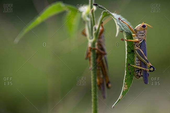 Brown grasshopper on green leaf
