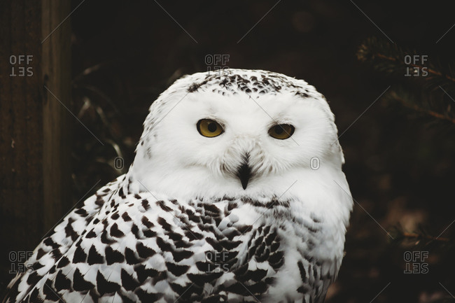 Close-up portrait of snowy owl