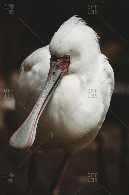Close-up portrait of spoonbill