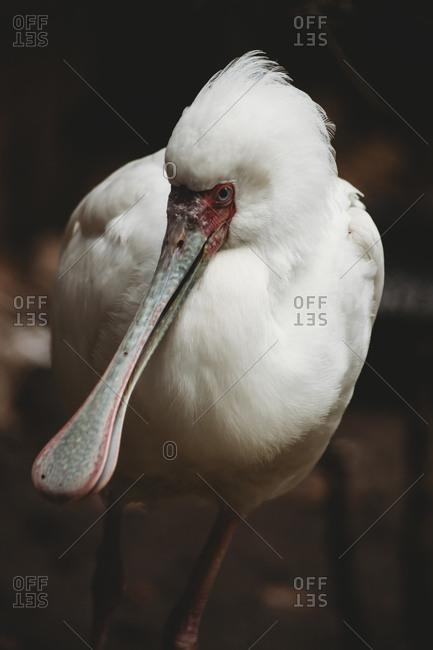 Close-up portrait of spoonbill