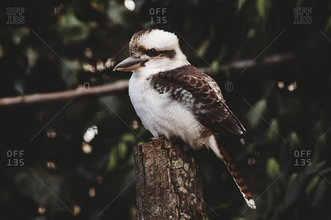 Portrait of kookaburra
