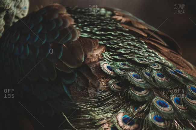 Close-up of peacock feathers - Offset