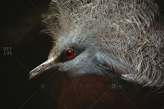 Close-up portrait of a victoria crowned pigeon against dark background