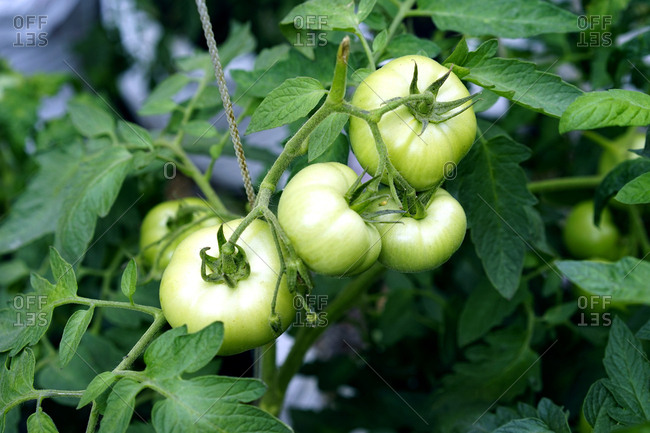 Green tomatoes on a vine