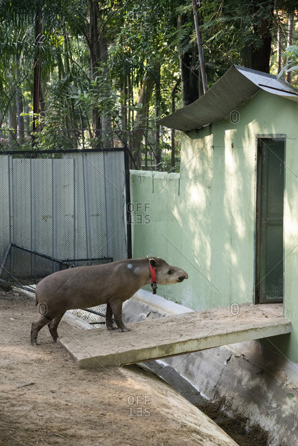 Tapir in captivity heading for door in zoo area