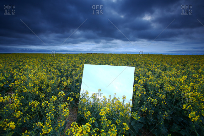 Reflection on a large mirror of a rapeseed cultivation field. natural park of las lagunas de villafafila.