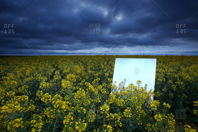 Reflection on a large mirror of a rapeseed cultivation field. natural park of las lagunas de villafafila. zamora. spain