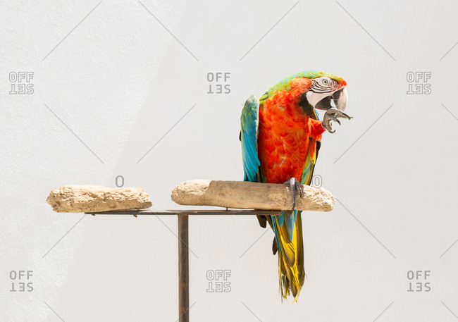 Parrot in anacapri italy