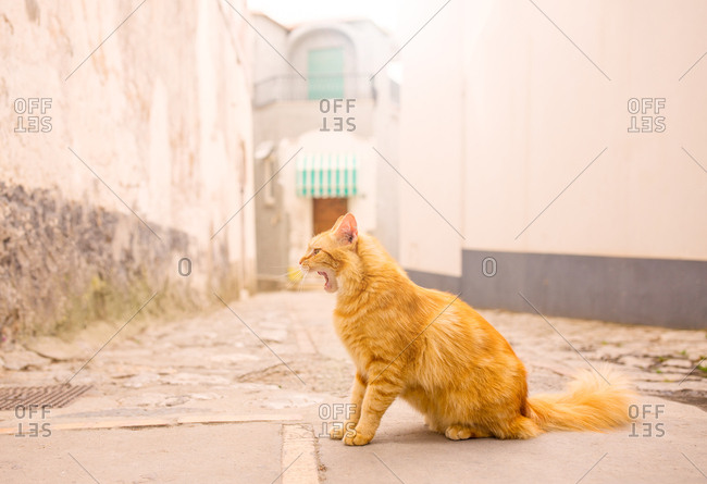 Cats of anacapri