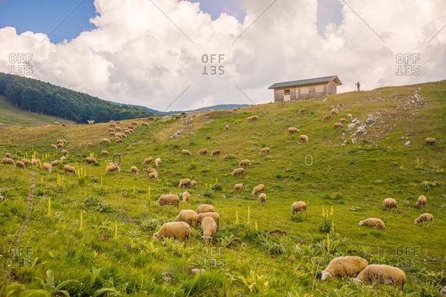 Sheep farm in italy