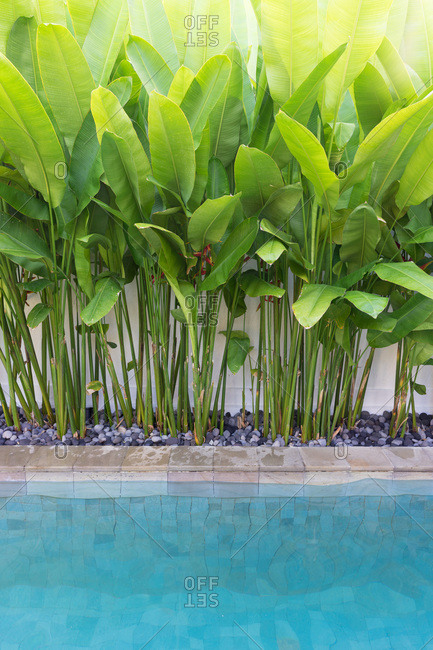Inviting tropical pool with lush banana leaves