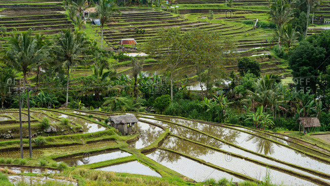 Balinese rice fields in the middle of the jungle