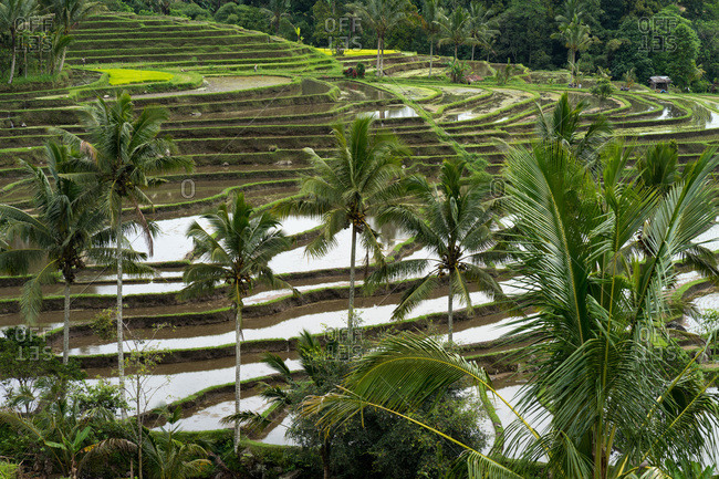 Balinese rice fields with coconut palms in the middle