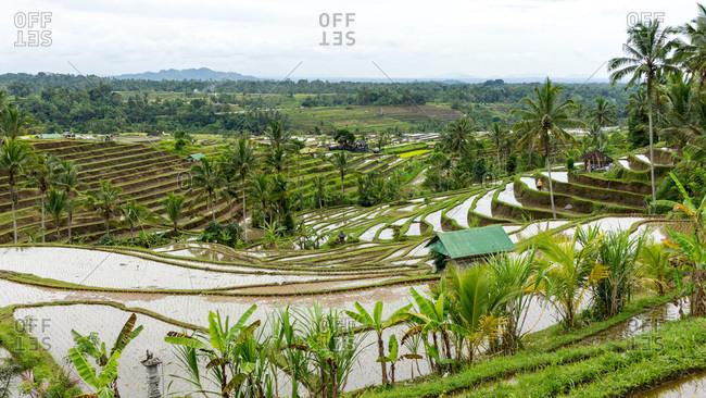Endless rice fields in bali