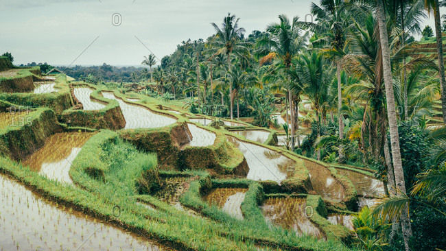 Rice terraces separated by coconut trees