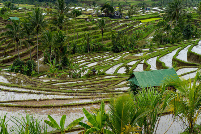 Countless rice terraces in bali