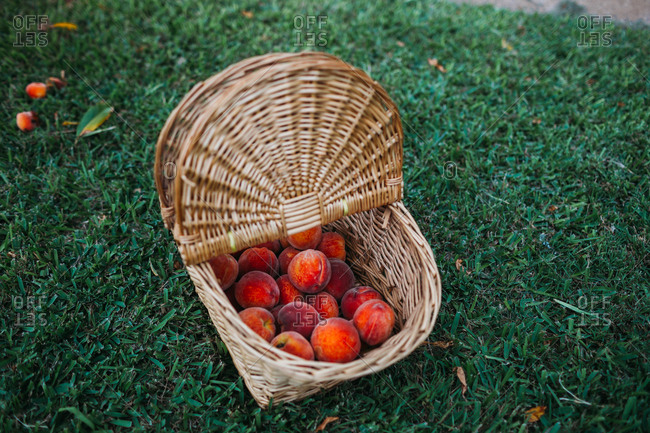 Picnic basket full of freshly picked peaches in front yard