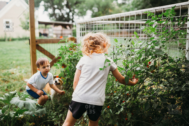 Young boy and girl with corgi dog picking home grown tomatoes