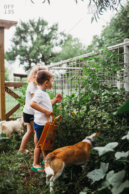 Young boy and girl in garden with dogs picking home grown tomatoes