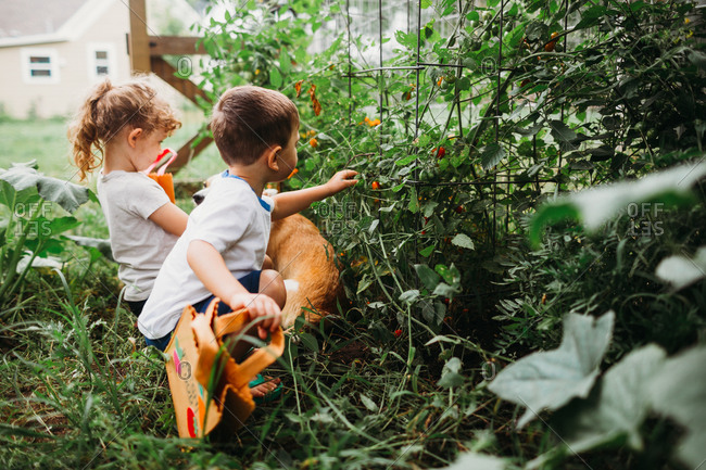 Young girl and boy in garden with corgi dog picking tomatoes