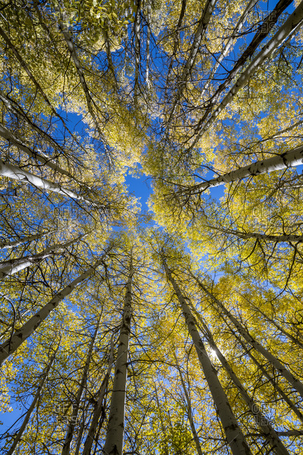 Looking up at a beautiful grove of aspen trees in the fall.