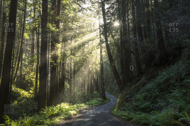 A road winds through a grove of redwood trees with sunbeams.