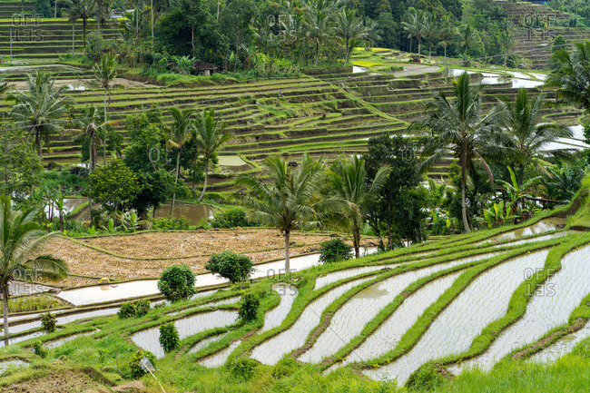Indonesia, bali - january 1, 2019: balinese rice fields with coconut palms