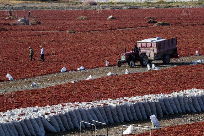 September 11, 2019: Shawan Ann sea pepper harvest in xinjiang