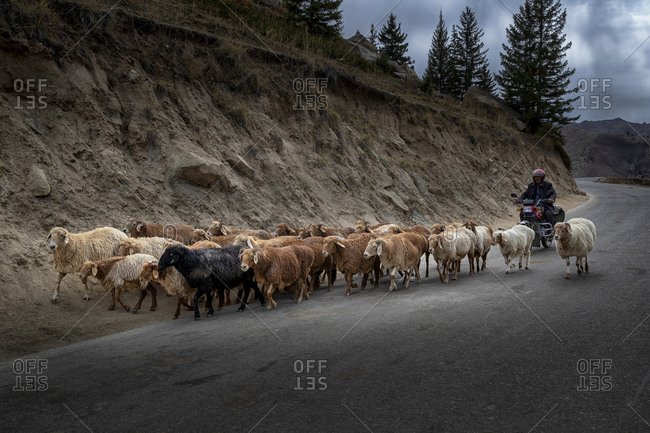 September 11, 2019: Xinjiang altay herdsmen transitions