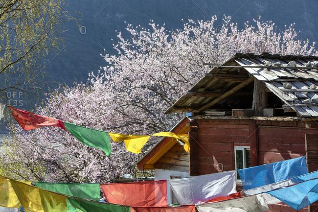 Tibet bome beauty