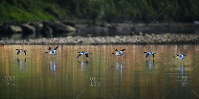 The Chinese merganser - Offset Collection