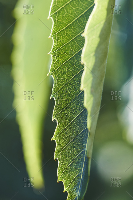 The leaf of a chestnut tree showing off its fine leaf structure, backlit, the lamina, midrib, veins, are all visible.