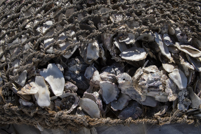Old rustic oyster shells in fishing rope nets