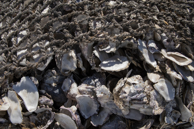 Bundle of bagged oyster shells in worn rope nets