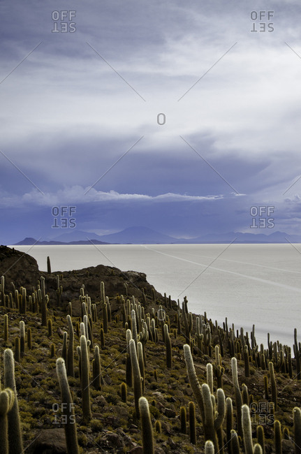 Cacti growing on island in salar de uyuni in bolivia