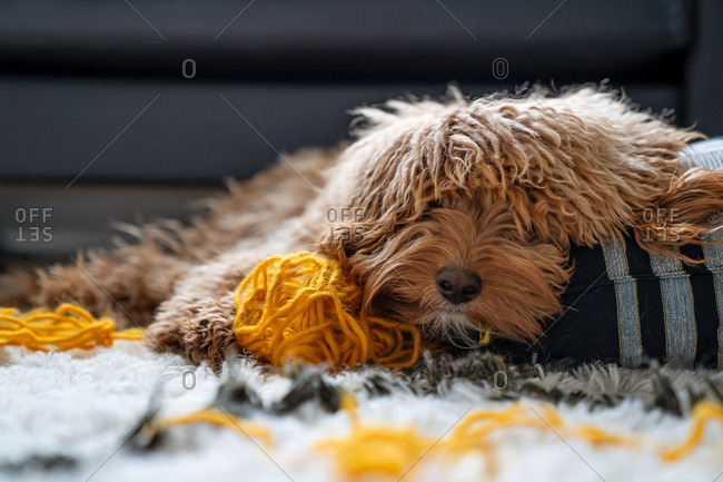 Mini goldendoodle laying with a ball of yarn