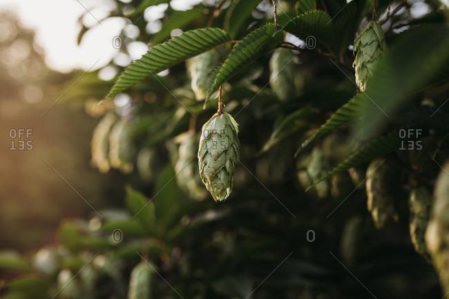 Hop hornbeam tree - Offset Collection