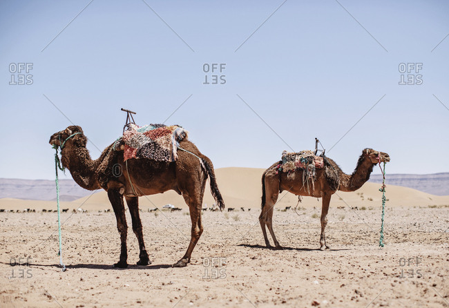 Two camels stand facing away from each other in the desert, morocco