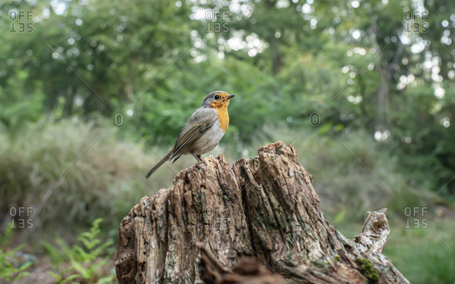 Robin red breast bird perched on a tree stump