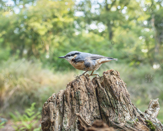 Red-breasted nuthatch perched on a tree stump