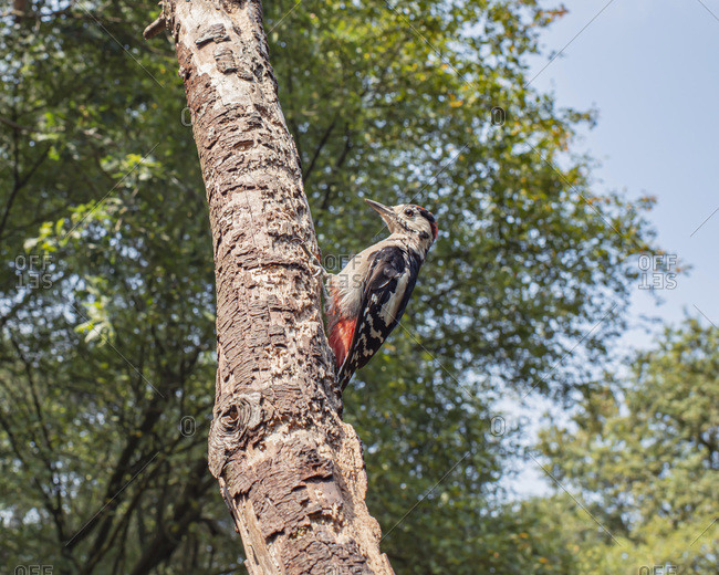 Low angle view of a great spotted woodpecker in a tree