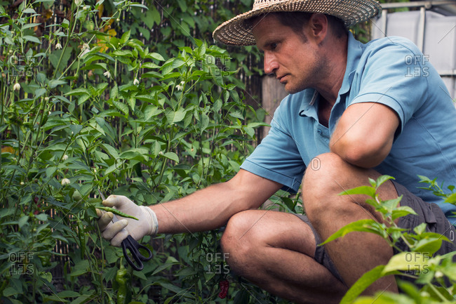 Man cares for hot pepper plants grown in the garden