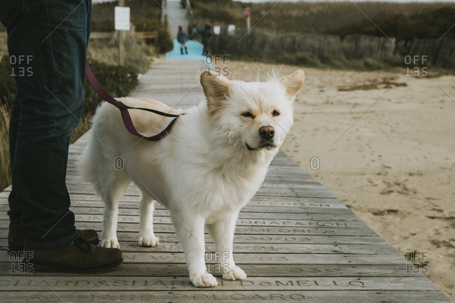 Cute dog standing on boardwalk, fur and ears being blown in the wind
